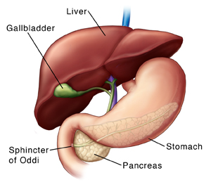 Front view of liver and stomach. Liver is partly raised to show gallbladder underneath. Pancreas is visible behind stomach. Ducts from gallbladder, liver, and pancreas join in pancreas. Common duct enters small intestine at sphincter of Oddi.