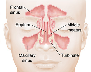 Front view of face showing sinuses.