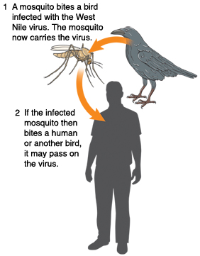 Bird, mosquito, and outline of person. Mosquito bites infected bird. Mosquito now carries virus. If infected mosquito bites human or another bird, virus may be passed on.