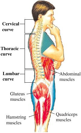 Side view of man with spine and muscles visible. Cervical curve of spine is in neck. Thoracic curve of spine is in middle of back. Lumbar curve of spine is in lower back. Abdominal muscles are in abdomen. Quadriceps muscle is in front of thigh. Hamstring muscles are in back of thigh. Gluteus muscles are in buttocks.