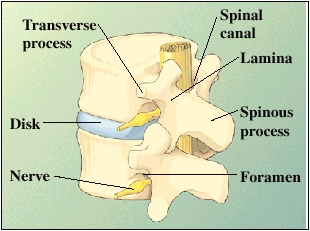 Back view of two vertebrae and disk, turned slightly to side. Disk is between vertebrae. Spinal canal is formed by back of vertebrae. Foramen are spaces formed by vertebrae at sides for spinal nerves to exit spinal canal. Back of vertebra is made of spinous process in center, lamina on either side forming walls of spinal canal, and transverse processes sticking out on either side.