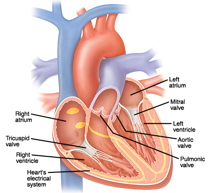 Front view of heart showing atria on top and ventricles on bottom with valves between chambers. Mitral valve is between left atrium and left ventricle. Aortic valve is between left ventricle and aorta, large artery exiting heart at top. Tricuspid valve is between right atrium and right ventricle. Pulmonic valve is between right ventricle and pulmonary artery, which branches to lungs. Electrical system is made up of two nodes in right atrium and nerves in wall between ventricles which  curve into ventricle walls.