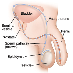 Side view of male reproductive anatomy showing pathway of sperm.