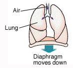 Trachea and lungs on diaphragm. Arrows show diaphragm moving down and air moving into lungs.