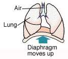 Trachea and lungs on diaphragm. Arrows show diaphragm moving up and air moving out of lungs.