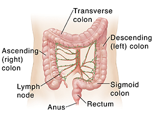 Outline of adult abdomen showing arteries and lymph nodes of colon.