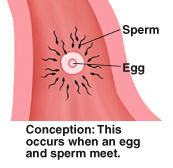 Closeup cross section of fallopian tube showing sperm around egg. Conception occurs when egg and sperm meet.