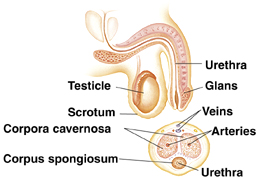 Cross section side view of penis and scrotum with testicle inside. Urethra runs through penis. Glans is head of penis. Cross section of penis showing veins, arteries, urethra, corpora cavernosa, and corpus spongiosum.
